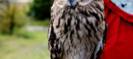 SHORT-EARED OWL, Marsh Owl – Owls for Kids