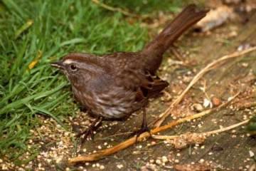 06 Song Sparrow