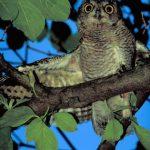 SCREECH OWLS – Owls for Kids
