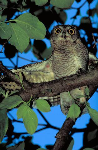 08 Screech owl