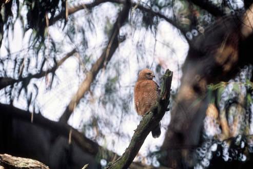 09 Redshouldered Hawk