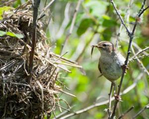 Read more about the article MARSH WREN – Birds for Kids