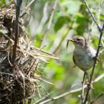 MARSH WREN – Birds for Kids