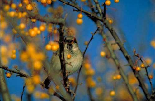 10 House sparrow