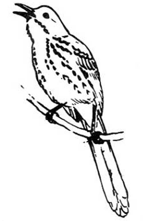 11 Brown Thrasher