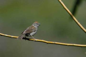 11 Chipping Sparrow