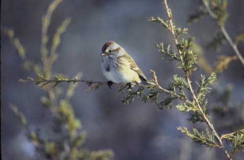 TREE SPARROW – Birds for Kids