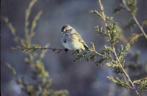12 American Tree Sparrow