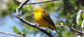YELLOW WARBLER – Birds for Kids