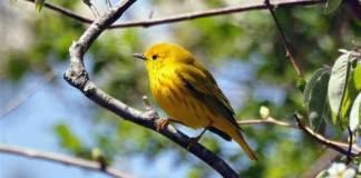 13 Yellow Warbler