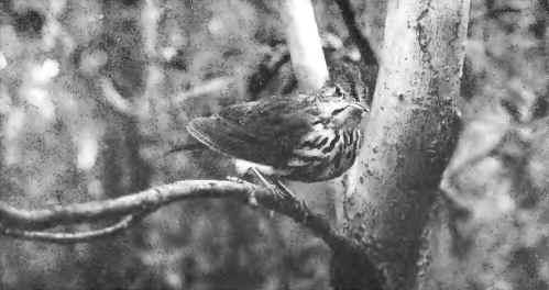 14 OVEN BIRD