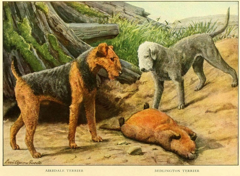 AIREDALE TERRIER DOG – Information About Dogs