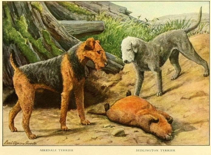 airedale terrier bedlington terrier - information about dogs