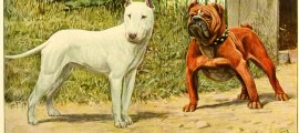 BULLDOG – Information About Dogs