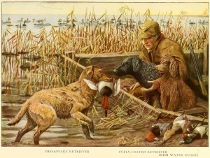 Read more about the article CHESAPEAKE RETRIEVER – Information About Dogs