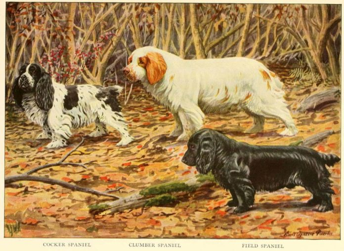 cocker spaniel clumber spaniel field spaniel - information about dogs
