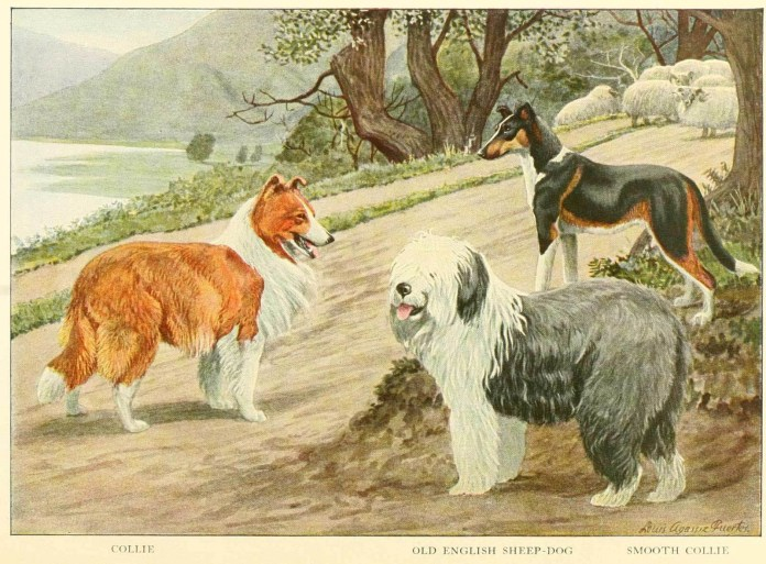 collie old english sheep dog smooth collie - information about dogs
