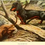 DACHSHUND DOGS – Information About Dogs