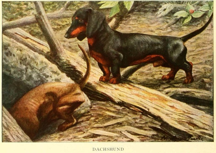 dachshund dog - information about dogs