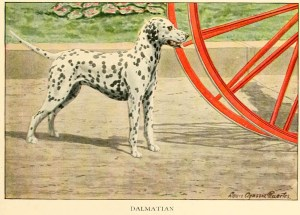 Read more about the article DALMATIAN DOG BREED – COACH DOG – Information About Dogs