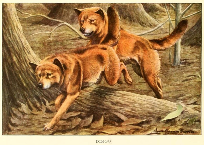 dingo dog - information about dogs