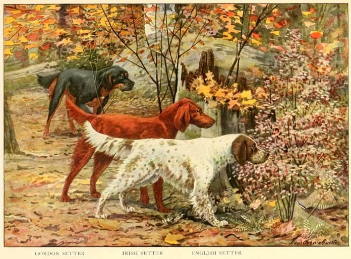gordon setter irish setter english setter - information about dogs