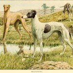 Greyhound Dog  – Information About Dogs