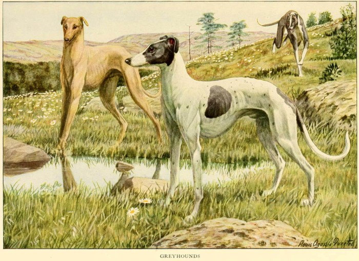 greyhounds - information about dogs