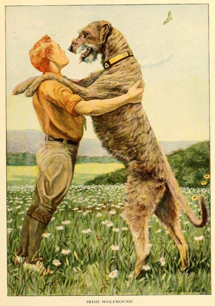 irish wolfhound - information about dogs