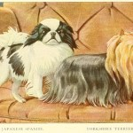 Read more about the article JAPANESE SPANIEL – Information About Dogs