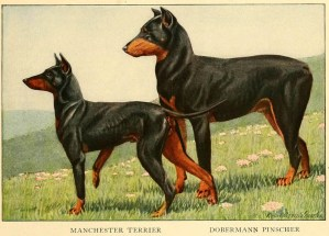 DOBERMAN PINSCHER DOG – Information About Dogs
