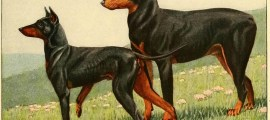 MANCHESTER TERRIER – BLACK AND TAN TERRIER – Information About Dogs