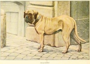MASTIFF DOG BREED – Information About Dogs