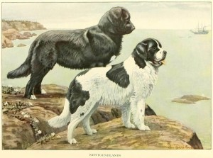 Read more about the article NEWFOUNDLAND DOG BREED – Information About Dogs