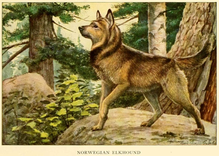 Norwegian Elkhound – Information About Dogs