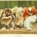 PEKINGESE DOG – Information About Dogs