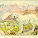 PYRENEAN MOUNTAIN DOG – Information About Dogs