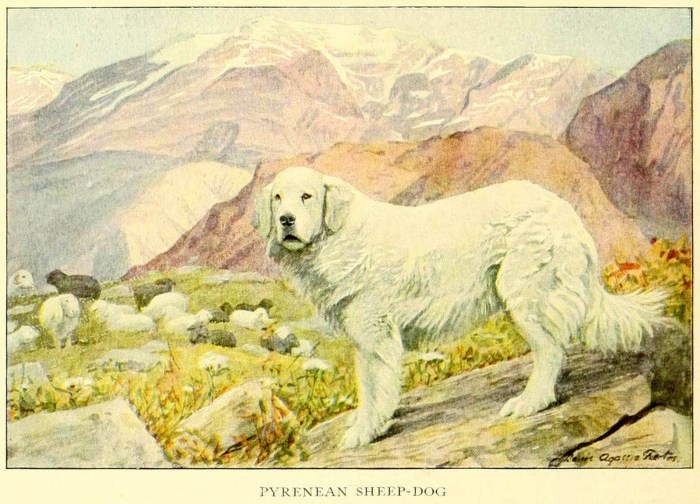 pyrenean sheep dog - information about dogs