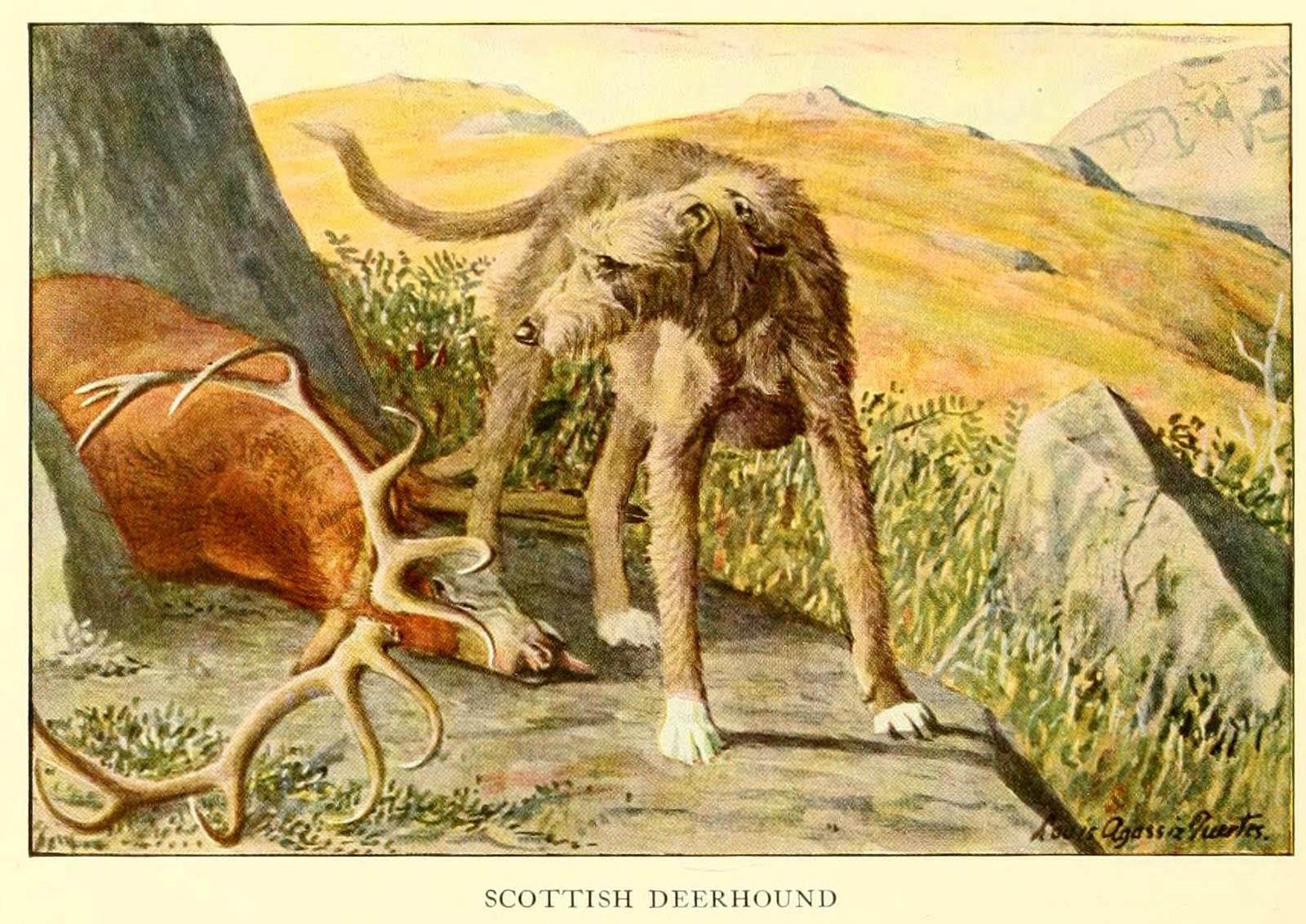 Scottish Deerhound – Information About Dogs