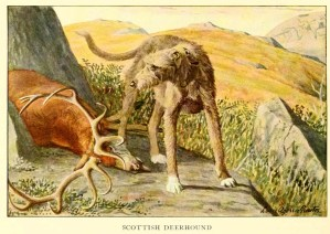 Read more about the article Scottish Deerhound – Information About Dogs