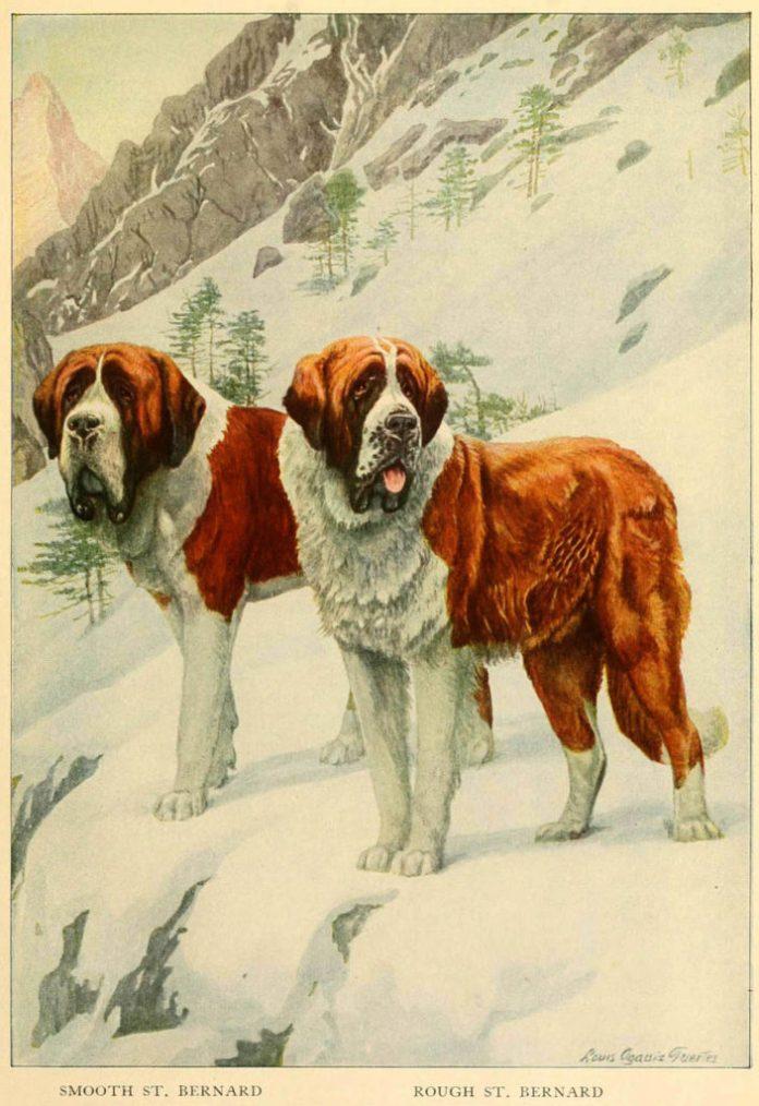 smooth st bernard rough st bernard - information about dogs