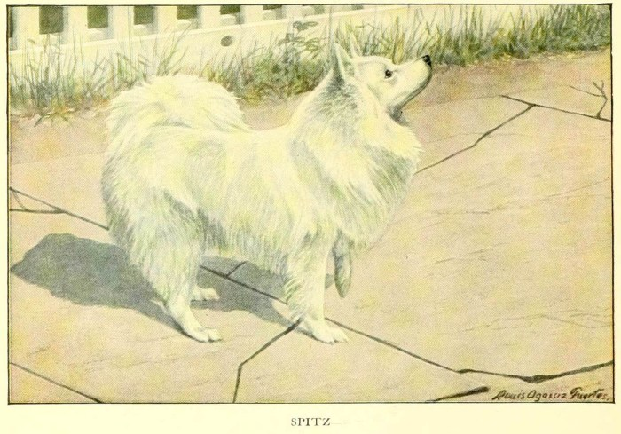 spitz dog - information about dogs