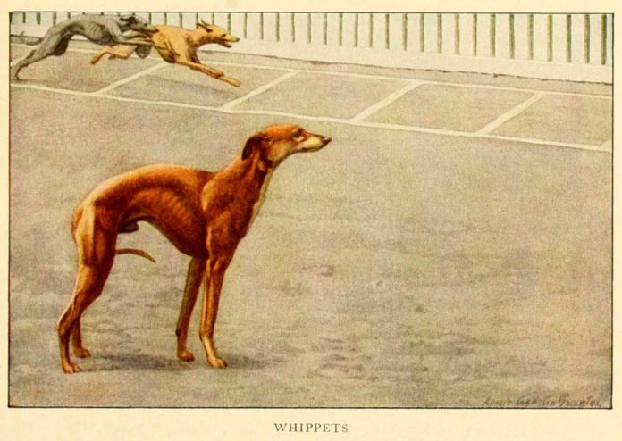 whippets dogs - information about dogs