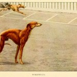 Whippet Dog – Information About Dogs