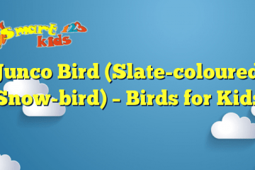 Junco Bird (Slate-coloured Snow-bird) – Birds for Kids