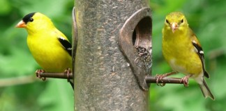 AMERICAN GOLDFINCH – Birds for Kids