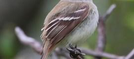 LEAST FLYCATCHER (Chebec) – Birds for Kids