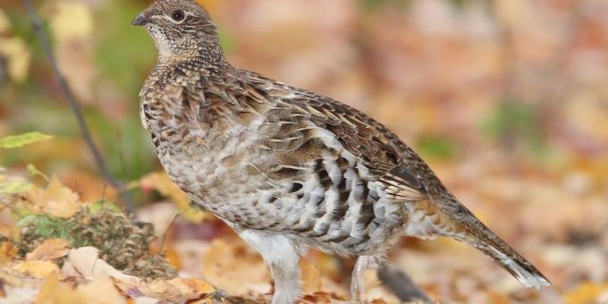 RUFFED GROUSE – Birds for Kids