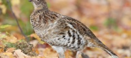 RUFFED GROUSE – Birds for Kids