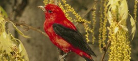 SCARLET TANAGER – Birds for Kids